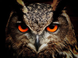 gufo con occhi rossi