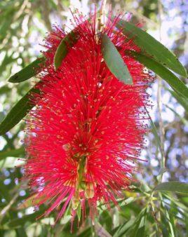 fiore australiano rosso