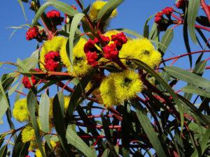 fiori eucalipto tipici australia