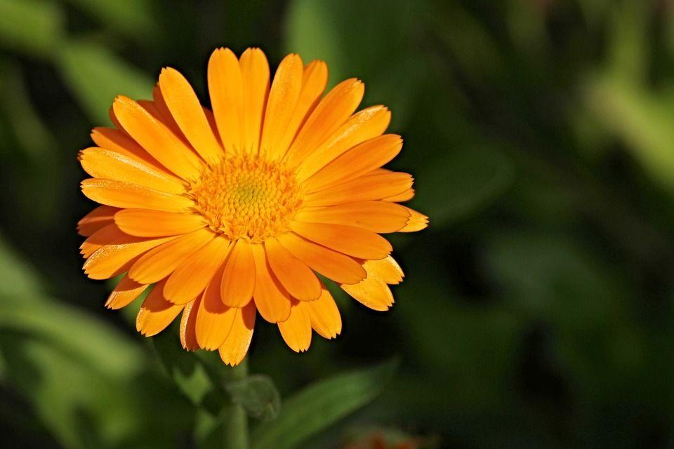 fiore naturale usato da chi pratica naturopatia