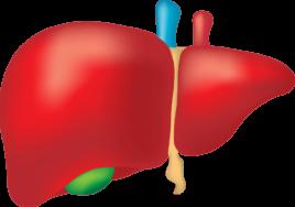 disegno di fegato ingrossato