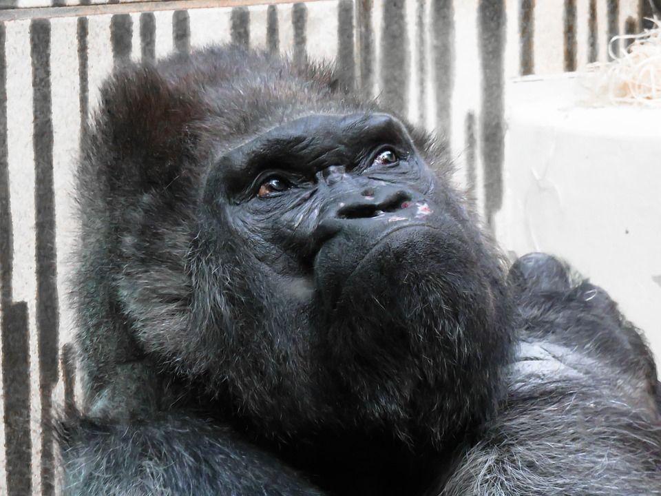 gorilla animale con espressione simile all'uomo