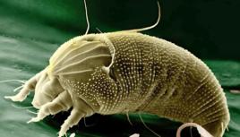 mosca di oncocercosi